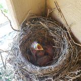 Αμερικανικά κόκκινα πουλιά του Robin μωρών στη φωλιά τους που θέλει να φάει στοκ φωτογραφία
