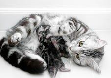 Αμερικανικά μητέρα και γατάκι shorthair στοκ φωτογραφίες