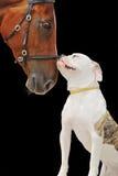 Αμερικανικά μπουλντόγκ και άλογο κάστανων, που απομονώνονται στο Μαύρο Στοκ Εικόνες