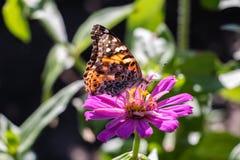 Αμερικανικά που χρωματίζεται την κυρία Butterfly σε ένα ρόδινο λουλούδι Στοκ φωτογραφία με δικαίωμα ελεύθερης χρήσης