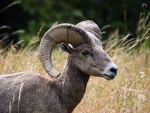 Αμερικανικά πρόβατα bighorn σε ένα λιβάδι στοκ φωτογραφίες με δικαίωμα ελεύθερης χρήσης