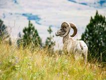 Αμερικανικά πρόβατα bighorn σε ένα λιβάδι στοκ φωτογραφία με δικαίωμα ελεύθερης χρήσης