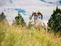Αμερικανικά πρόβατα bighorn σε ένα λιβάδι στοκ εικόνες