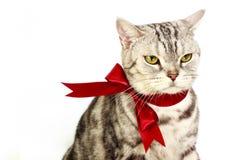 Αμερικανική ασημένια γάτα shorthair με τον κόκκινο δεσμό τόξων Στοκ Εικόνα