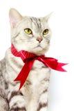 Αμερικανική ασημένια γάτα shorthair με τον κόκκινο δεσμό τόξων Στοκ Φωτογραφίες