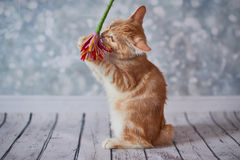 Αμερικανική γάτα Bobtail στοκ εικόνες με δικαίωμα ελεύθερης χρήσης