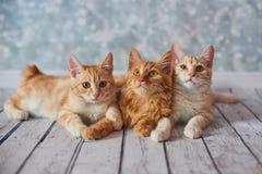 Αμερικανική γάτα Bobtail στοκ εικόνα με δικαίωμα ελεύθερης χρήσης