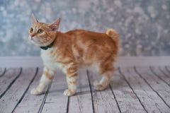 Αμερικανική γάτα Bobtail στοκ φωτογραφία με δικαίωμα ελεύθερης χρήσης