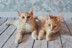Αμερικανική γάτα Bobtail Στοκ Εικόνα