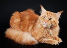 αμερικανική γάτα coon Maine Στοκ Εικόνες