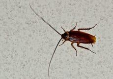 Αμερικανική κατσαρίδα που σέρνεται πέρα από έναν άσπρο τοίχο στοκ φωτογραφίες με δικαίωμα ελεύθερης χρήσης