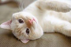 Αμερικανική κοντή γάτα τρίχας στο καθιστικό στοκ φωτογραφία