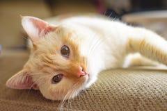 Αμερικανική κοντή γάτα τρίχας στο καθιστικό στοκ εικόνες με δικαίωμα ελεύθερης χρήσης