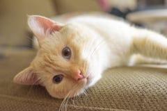 Αμερικανική κοντή γάτα τρίχας στο καθιστικό στοκ εικόνες
