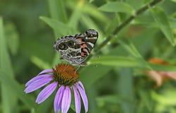 αμερικανική κυρία πεταλούδων που χρωματίζεται Στοκ Φωτογραφίες