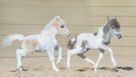 αμερικανική μικρογραφία &a Foal δύο Στοκ Φωτογραφία