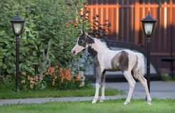 αμερικανική μικρογραφία &a Pinto foal στην πράσινη χλόη Στοκ Φωτογραφία