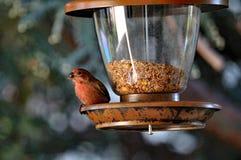 Αμερικανική σίτιση της Robin από τον τροφοδότη πουλιών Στοκ Εικόνες