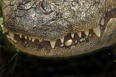 Αμερικανική σαν αλλιγάτορας στενή επάνω λεπτομέρεια δοντιών Στοκ εικόνα με δικαίωμα ελεύθερης χρήσης