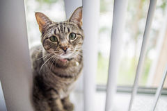 Αμερικανική συνεδρίαση γατών Shorthair Στοκ Εικόνα