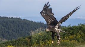 αμερικανική φαλακρή πτήση αετών Στοκ Εικόνα