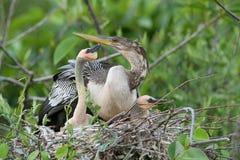 αμερικανική φωλιά anhinga Στοκ φωτογραφίες με δικαίωμα ελεύθερης χρήσης