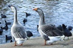 αμερικανική χήνα χήνων φαλ&alpha Στοκ εικόνα με δικαίωμα ελεύθερης χρήσης