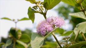 Αμερικανική beautyberry ή γαλλική μουριά με τη μέλισσα απόθεμα βίντεο