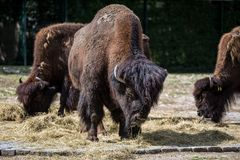 Αμερικανικοί βούβαλοι γνωστοί ως βίσωνας, βίσωνας Bos στο ζωολογικό κήπο στοκ φωτογραφίες με δικαίωμα ελεύθερης χρήσης
