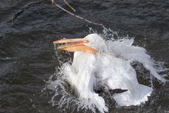 Αμερικανικός άσπρος πελεκάνος που παίρνει ένα λουτρό σε μια λίμνη Στοκ Εικόνα