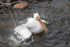 Αμερικανικός άσπρος πελεκάνος που παίρνει ένα λουτρό σε μια λίμνη Στοκ φωτογραφίες με δικαίωμα ελεύθερης χρήσης