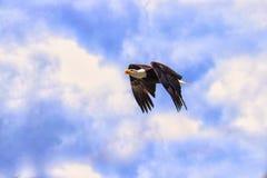 Αμερικανικός αετός κατά την πτήση σε έναν μπλε ουρανό Στοκ Φωτογραφία