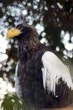 αμερικανικός αετός που&lamb Στοκ Εικόνες