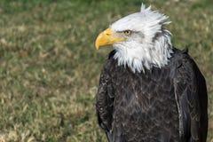 αμερικανικός αετός στοκ εικόνα