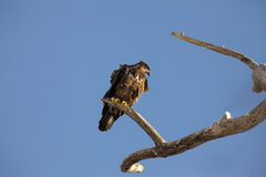 αμερικανικός αετός Στοκ Εικόνες