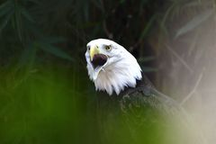 αμερικανικός αετός Στοκ εικόνα με δικαίωμα ελεύθερης χρήσης