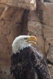 αμερικανικός αετός Στοκ Φωτογραφίες