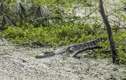 Αμερικανικός αλλιγάτορας, εθνικό καταφύγιο άγριας πανίδας νησιών Pickney, ΗΠΑ Στοκ εικόνες με δικαίωμα ελεύθερης χρήσης
