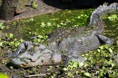 Αμερικανικός αλλιγάτορας στοκ φωτογραφίες με δικαίωμα ελεύθερης χρήσης