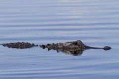 Αμερικανικός αλλιγάτορας Στοκ φωτογραφία με δικαίωμα ελεύθερης χρήσης