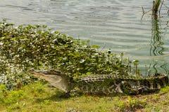 Αμερικανικός αλλιγάτορας Στοκ εικόνα με δικαίωμα ελεύθερης χρήσης