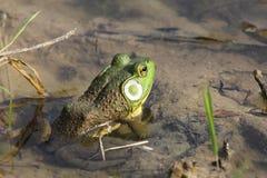 Αμερικανικός βάτραχος ταύρων Στοκ Φωτογραφία