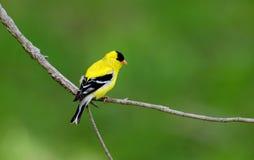αμερικανικός κλάδος goldfinch σ Στοκ Εικόνα