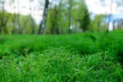 Αμερικανικός κοινός, artemisiifolia αμβροσιών, προκαλώντας την αλλεργία Στοκ φωτογραφία με δικαίωμα ελεύθερης χρήσης