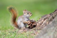 Αμερικανικός κόκκινος σκίουρος μωρών με Pinecone Στοκ Φωτογραφίες