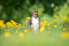 Αμερικανικός κόκκινος σκίουρος στον τομέα των πικραλίδων Στοκ Εικόνα