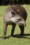 αμερικανικός νότος tapir Στοκ Εικόνες