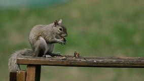 Αμερικανικός σκίουρος - hudsonicus Tamiasciurus, που κάθεται στο πάρκο και που ταΐζει απόθεμα βίντεο