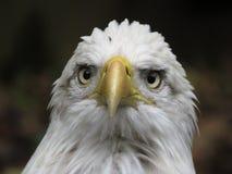 αμερικανικός φαλακρός αετός εθνικές ΗΠΑ πουλιών Στοκ Εικόνες