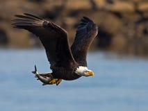 Αμερικανικός φαλακρός αετός με τα ψάρια Στοκ Φωτογραφία